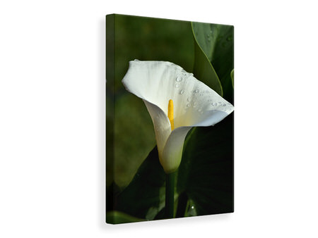 Canvas print White calla with morning dew