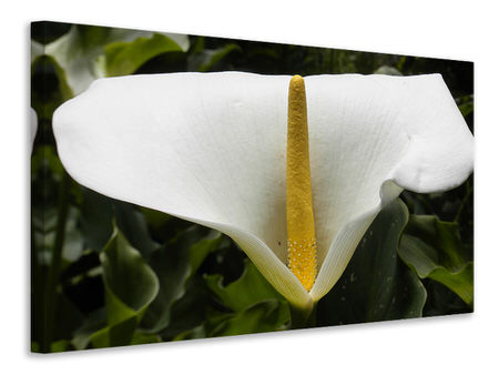 Canvas print Macro calla in white
